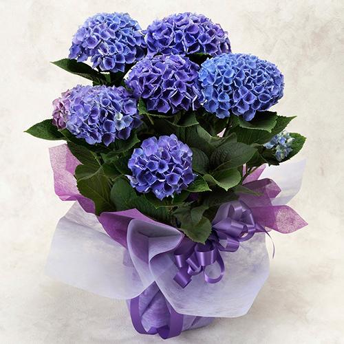 母の日花鉢「ハイドランジア<シーアン>」