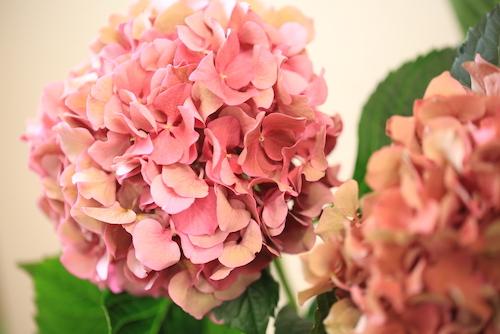 アジサイ紫陽花hydrangea