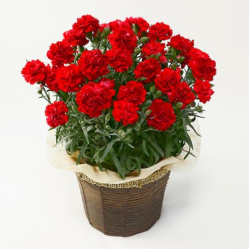 赤いカーネーションの鉢植え