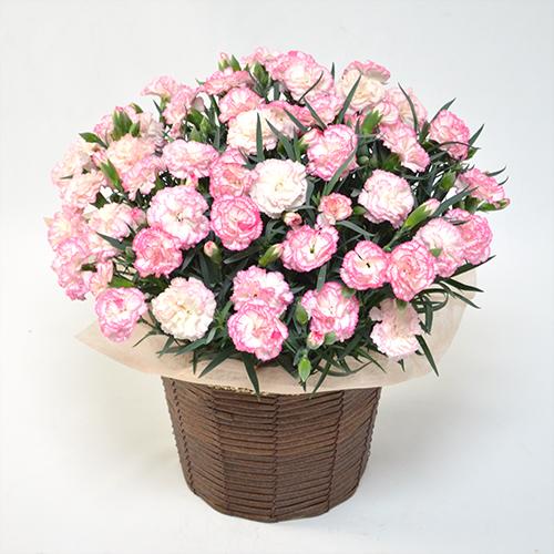 淡いピンクのカーネーションの鉢植え