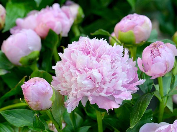 花咲いた芍薬とつぼみ