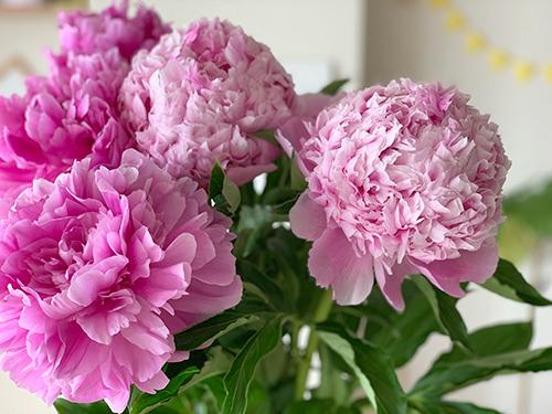 咲き始めのピンクの芍薬