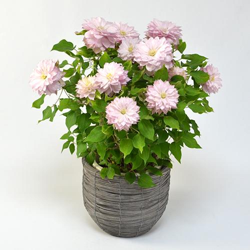 母の日花鉢クレマチス<春姫(はるひめ)>