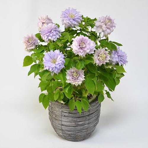 母の日花鉢クレマチス<ベルオブウォーキング>