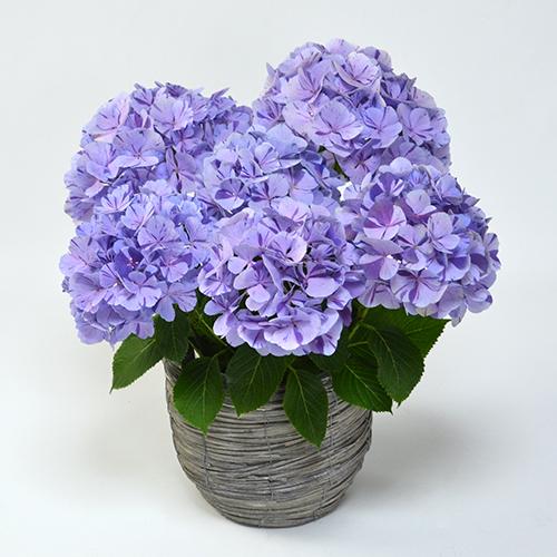 母の日花鉢ハイドランジア<スプラッシュ(ブルー)>