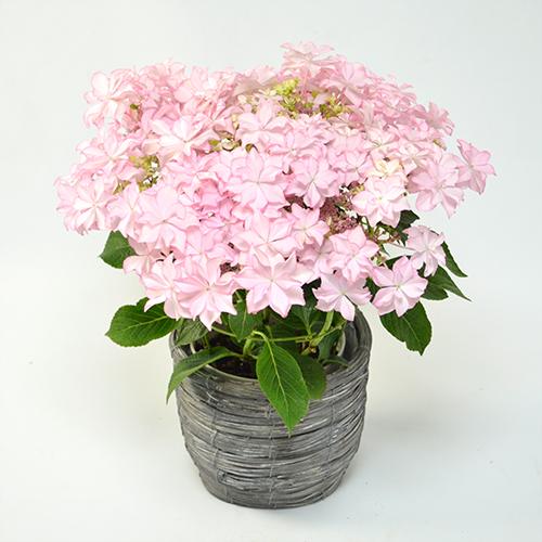 母の日花鉢ハイドランジア<レイ(ピンク)>