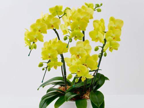 ミディ胡蝶蘭のフラワーギフトの画像