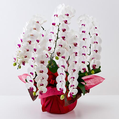 胡蝶蘭5本立ちの白に赤リップ