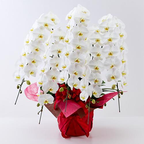 胡蝶蘭5本立ちの白