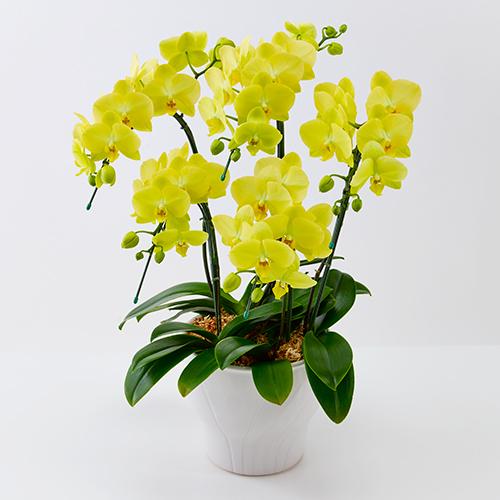 胡蝶蘭5本立ちの黄色