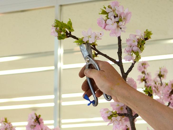 桜の枝を剪定している画像