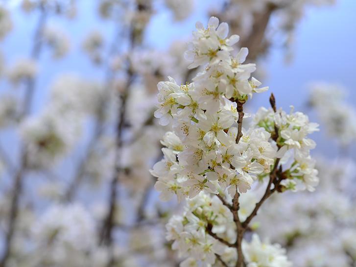 桜の花の画像