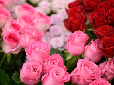 赤やピンクのバラの画像