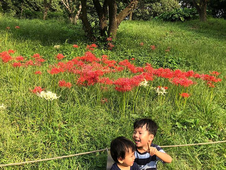 群生して咲くヒガンバナの画像