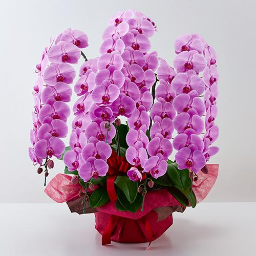 ピンクの大輪胡蝶蘭5本立ちの画像