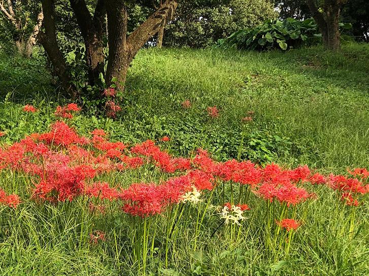 赤い彼岸花(ヒガンバナ)の画像
