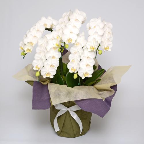 白いミディ胡蝶蘭の画像