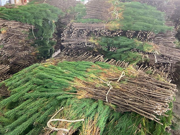 下枝が残った状態の松の画像