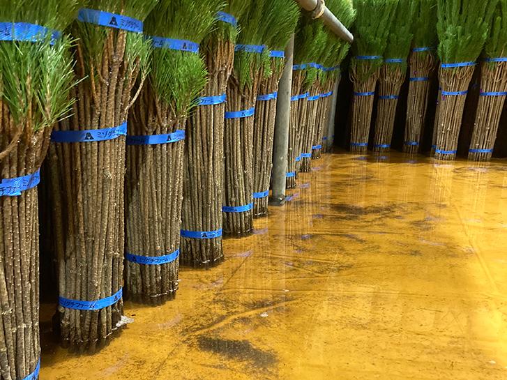 水に浸けられた松の画像