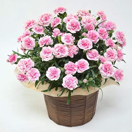 淡いピンクのカーネーションの鉢の画像
