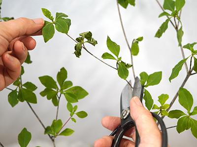 チリチリになった葉は根元から切る