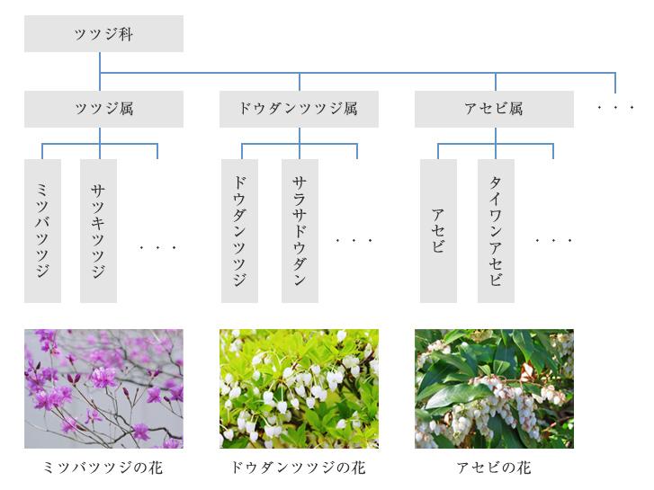 ツツジ科の分類表