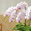 ピンクのリップの胡蝶蘭