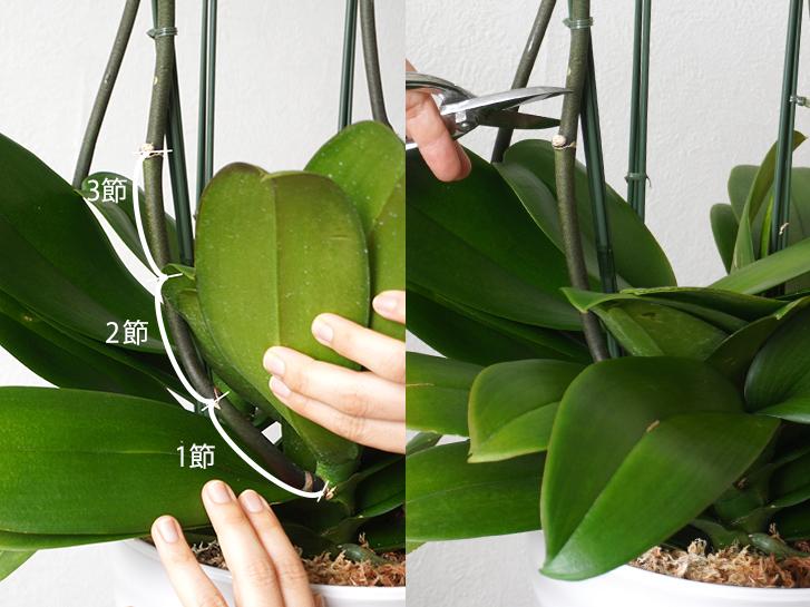 胡蝶蘭の茎を3節残してカットする様子