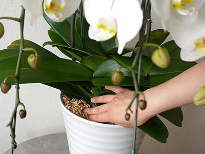 胡蝶蘭の根本を触っているところ