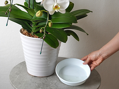 胡蝶蘭の鉢皿にたまった水