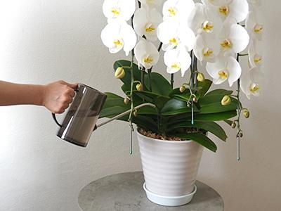 胡蝶蘭に水差しで水をあげているところ
