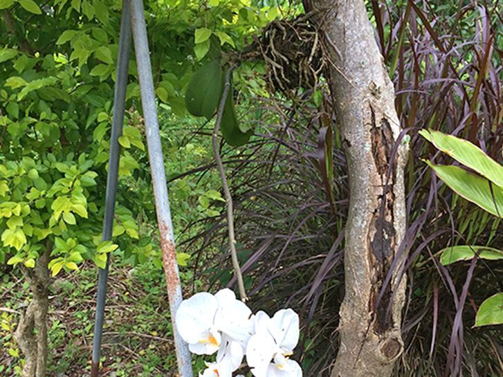 樹木に根を張っている胡蝶蘭