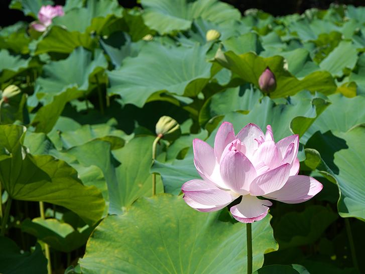 大きく開いた蓮の花