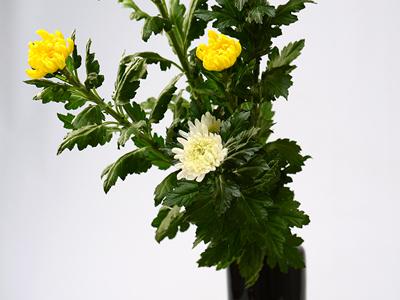 黄色と白の中菊