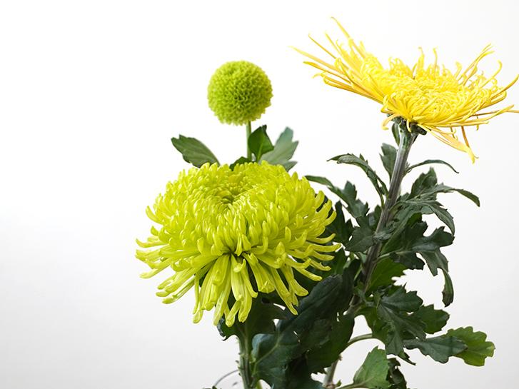 ライトグリーンや黄色の菊
