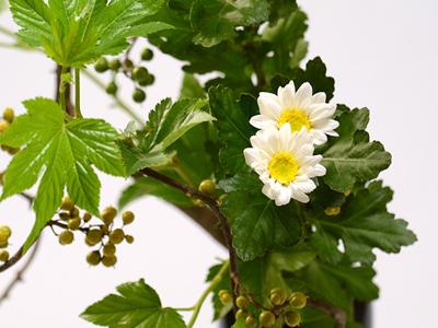 白い二輪菊