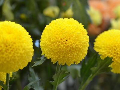 黄色いピンポンマム