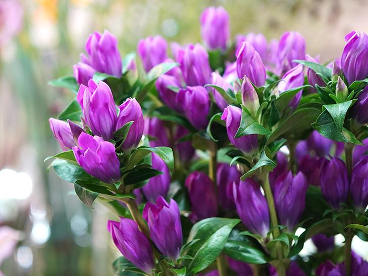 紫のリンドウ