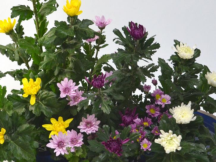さまざまな色の中菊や小菊
