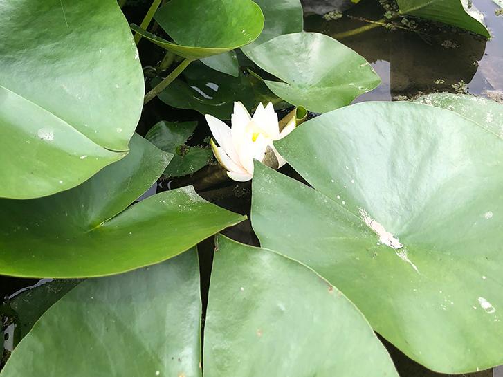 水面に咲く睡蓮の花