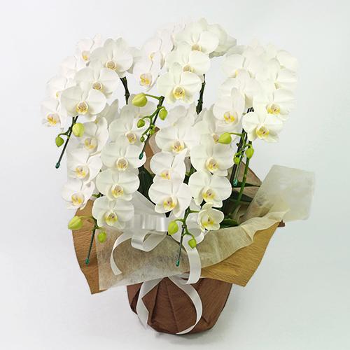白いお供え用のミディ胡蝶蘭