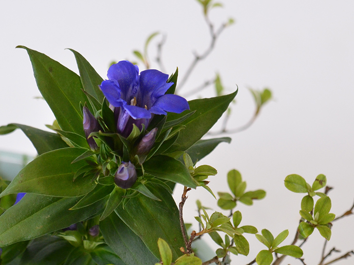 青いリンドウの花