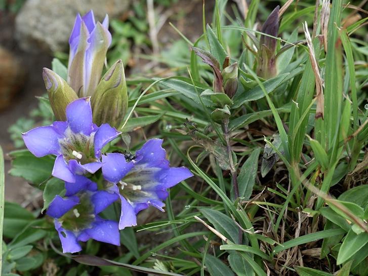 野生種の青いリンドウ