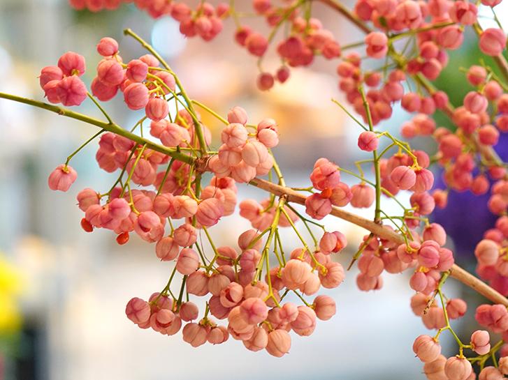 マユミのピンク色の実