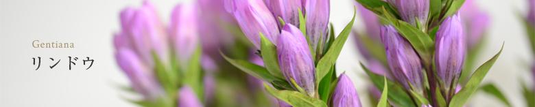 淡い紫のリンドウの画像